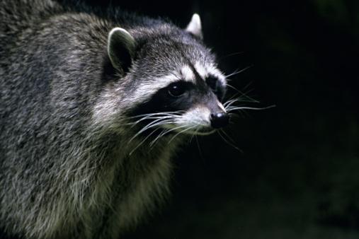 アライグマ「Closeup of Raccoon, Procyon lotor, Michigan, USA」:スマホ壁紙(18)