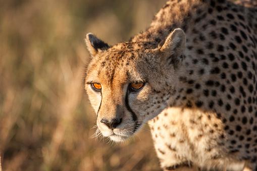 African Cheetah「Close-up of Stalking Wild Cheetah」:スマホ壁紙(6)