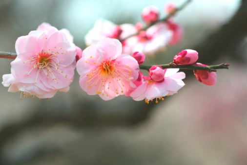 梅の花「Close-up of plum blossom flowers. Tokyo Prefecture, Japan」:スマホ壁紙(8)