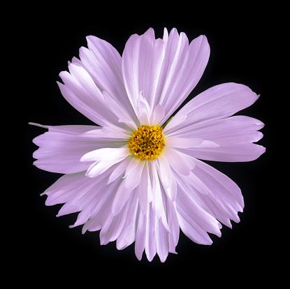 Stamen「Close-up of pinkish purple cosmos flower on black square.」:スマホ壁紙(4)