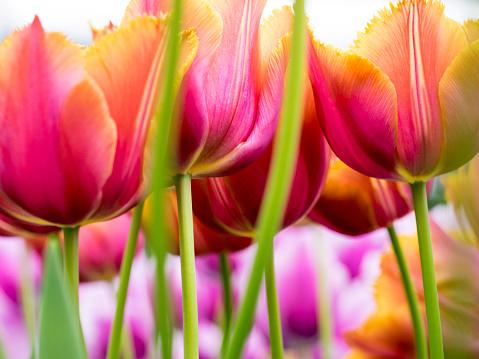 Keukenhof Gardens「Close-up of tulips (Tulipa), Keukenhof Gardens, Lisse, South Holland, Netherlands」:スマホ壁紙(1)
