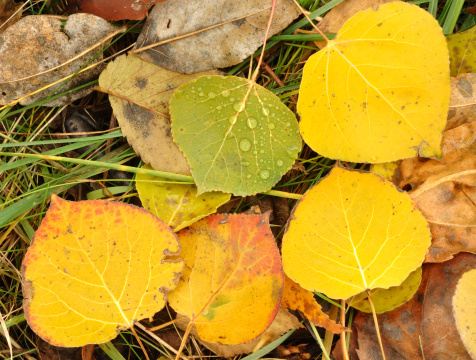 Aspen Tree「Close-up of Wet Colorful Aspen Leaves in Autumn」:スマホ壁紙(13)