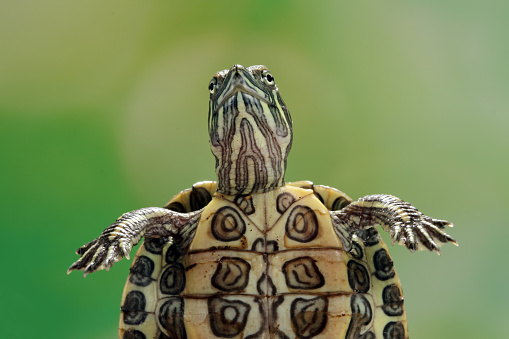Green Background「Close-up of a red-eared slider turtle, Indonesia」:スマホ壁紙(7)
