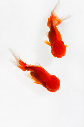 Goldfish「Close-up of fish」:スマホ壁紙(2)