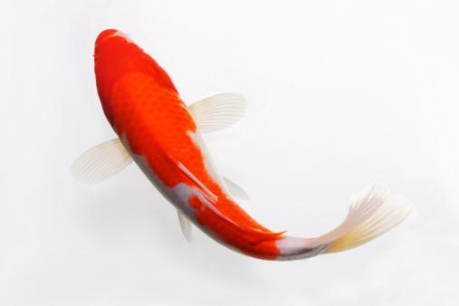 Carp「Close-up of fish」:スマホ壁紙(10)