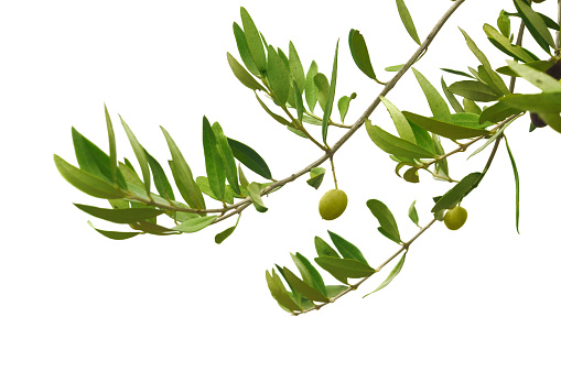 Branch - Plant Part「Close-up of green olives hanging on branches」:スマホ壁紙(1)