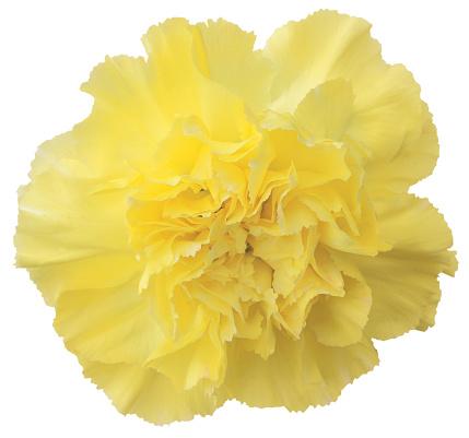 カーネーション「close-up of a yellow carnation」:スマホ壁紙(15)