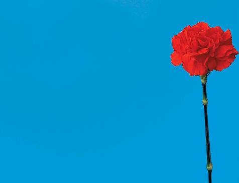 カーネーション「close-up of a stem of a carnation」:スマホ壁紙(3)