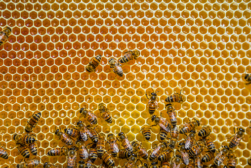 Endangered Species「Close-up of honeybees sitting on honeycombs」:スマホ壁紙(4)