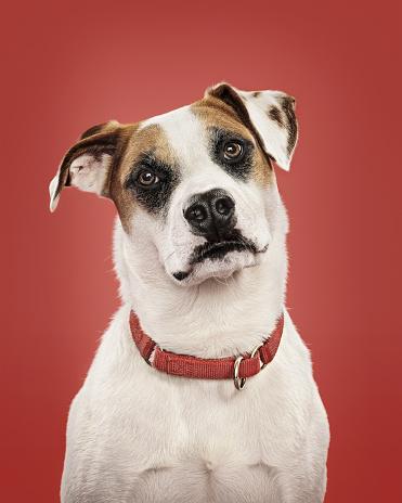 Curiosity「Close-up of dog in collar, studio shot」:スマホ壁紙(7)