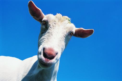 Goat「Close-up of Goat's Head」:スマホ壁紙(7)