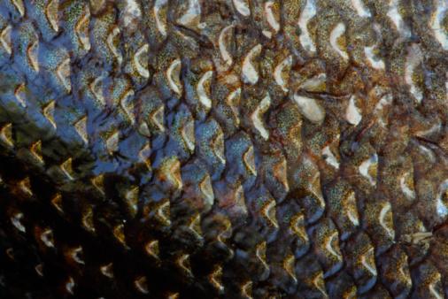 Pike - Fish「Close-up of fish scales」:スマホ壁紙(16)