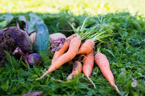 Beet「Close-up of freshly picked carrots, beetroot, potato, onion and cucumber on the grass」:スマホ壁紙(11)
