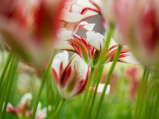 Close-up of tulip (Tulipa), Keukenhof Gardens, Lisse, South Holland, Netherlands:スマホ壁紙(壁紙.com)