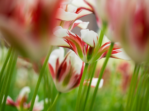Keukenhof Gardens「Close-up of tulip (Tulipa), Keukenhof Gardens, Lisse, South Holland, Netherlands」:スマホ壁紙(4)