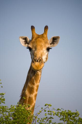キリン「Close-up of giraffe, South Africa safari」:スマホ壁紙(12)