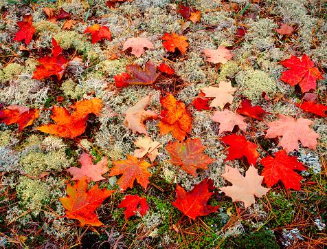 サトウカエデ「Close-up of fallen sugar maple leaves (Acer saccharum), lichen and moss, Keweenaw Peninsula, Michigan, USA」:スマホ壁紙(3)