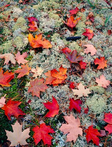 サトウカエデ「Close-up of fallen sugar maple leaves (Acer saccharum), lichen and moss, Keweenaw Peninsula, Michigan, USA」:スマホ壁紙(2)