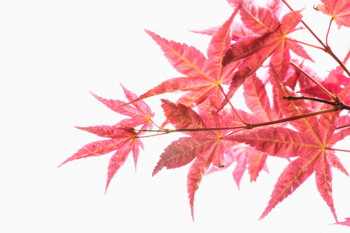 Japanese Maple「Close-up of red maple leaves.」:スマホ壁紙(4)