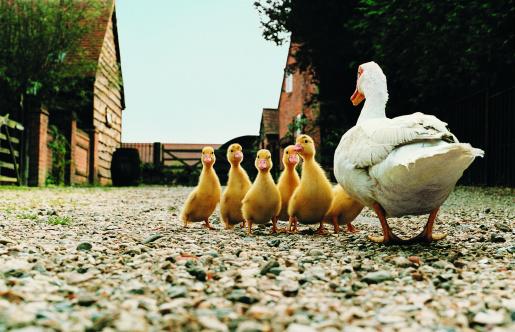 Walking「Back view of Duck with Ducklings」:スマホ壁紙(16)