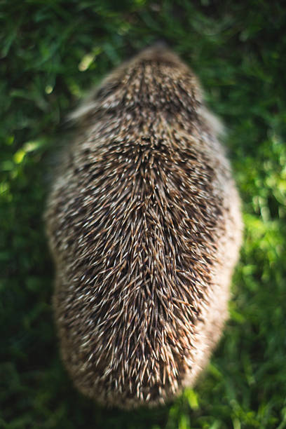 Back view of a hedgehog:スマホ壁紙(壁紙.com)