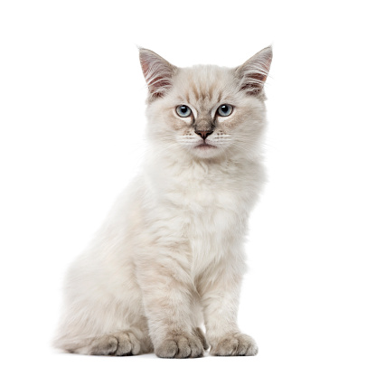 純血種のネコ「Kitten Ragdoll sitting, 3 months old, isolated on white」:スマホ壁紙(9)