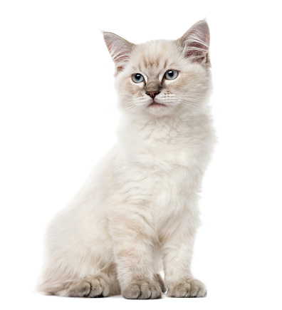 純血種のネコ「Kitten Ragdoll sitting, 3 months old, isolated on white」:スマホ壁紙(11)