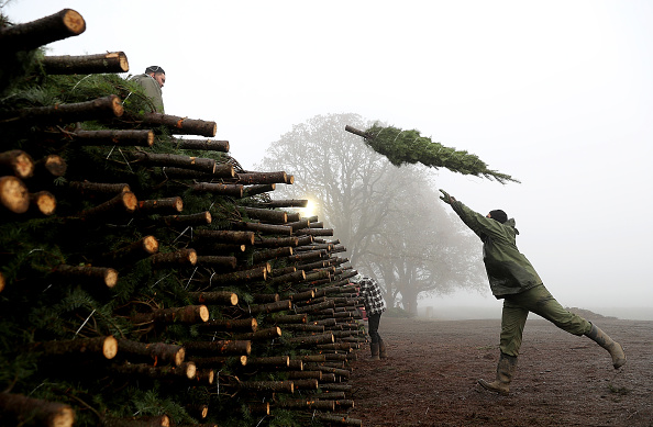 Christmas Tree「Oregon Christmas Tree Farm Harvests Trees For Upcoming Holiday Season」:写真・画像(15)[壁紙.com]