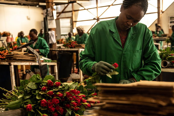 薔薇「Flower Farming In Kenya, World's Fourth-Largest Cut-Flower Exporter」:写真・画像(6)[壁紙.com]