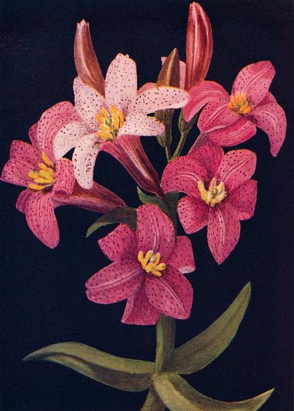 静物「Ruby Lily,  c1915, (1915)」:写真・画像(3)[壁紙.com]