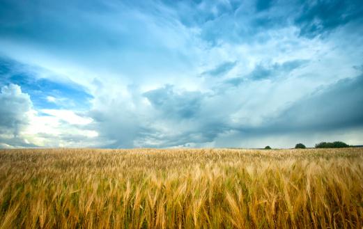 Agricultural Field「Barley Field under agitated sky」:スマホ壁紙(11)