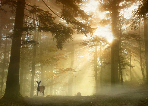 Ethereal「Deer standing in forest with sunlight beaming through trees, Molsheim, Alsace, France」:スマホ壁紙(3)