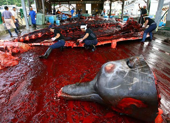 クジラ「Japanese Fishermen Process Whale Carcass」:写真・画像(17)[壁紙.com]