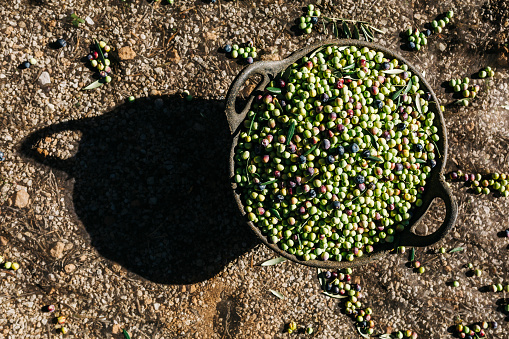 Harvesting「Spain, Tarragona, basket of harvested olives」:スマホ壁紙(9)