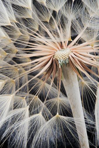 たんぽぽ「Dandelion (Taraxacum officinale) seed head on black background, studio shot」:スマホ壁紙(10)