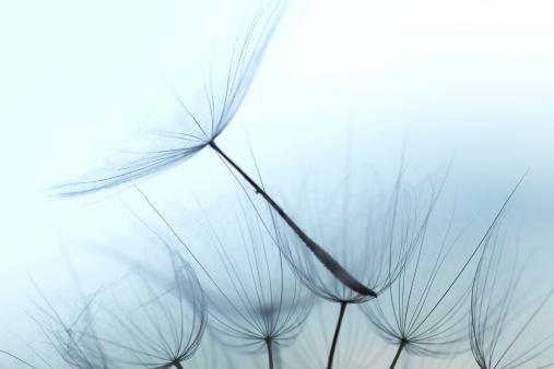 たんぽぽ「タンポポの種子」:スマホ壁紙(4)