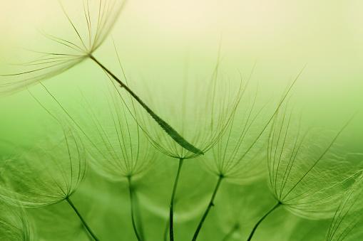 たんぽぽ「タンポポの種子」:スマホ壁紙(5)