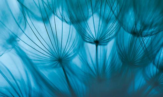 たんぽぽ「タンポポの種子」:スマホ壁紙(15)