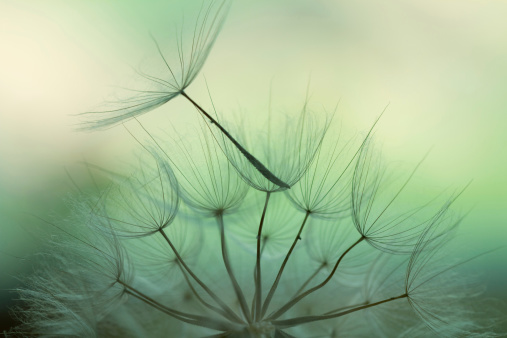 Abstract Backgrounds「Dandelion seed」:スマホ壁紙(1)