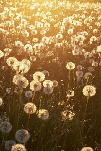 たんぽぽ「Dandelion (Taraxacum officinale) sunset, Anchorage, Alaska, USA」:スマホ壁紙(9)
