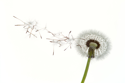 Seed「Dandelion seeds blowing in the wind against white background」:スマホ壁紙(9)