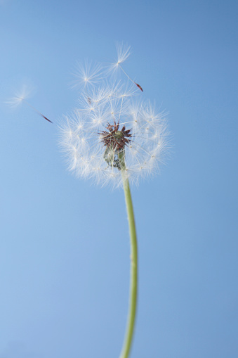 たんぽぽ「Dandelion Seeds」:スマホ壁紙(3)