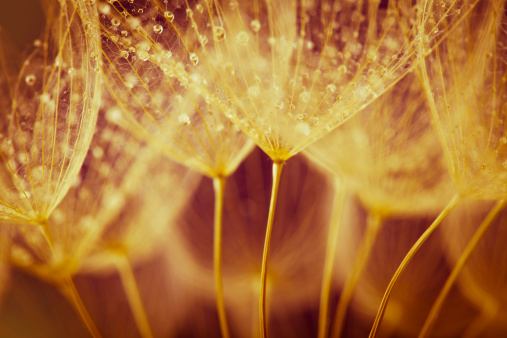 たんぽぽ「タンポポの種子、雨滴」:スマホ壁紙(4)
