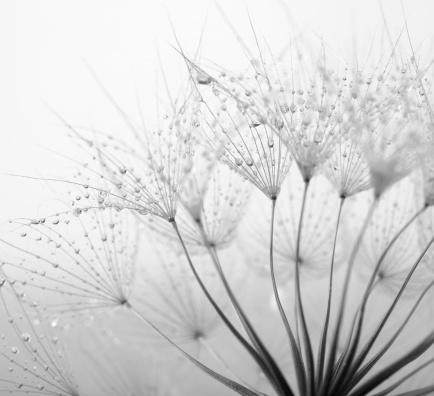 雨「タンポポの種子、雨滴」:スマホ壁紙(5)