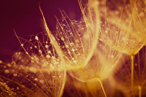 たんぽぽ「タンポポの種子、雨滴」:スマホ壁紙(7)