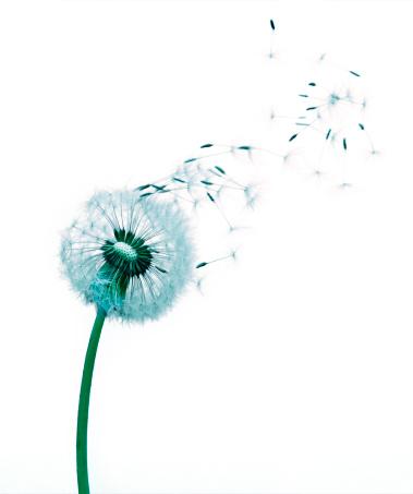 たんぽぽ「Dandelion seeds blowing white background」:スマホ壁紙(9)