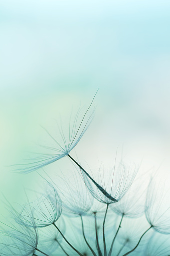たんぽぽ「タンポポの種子」:スマホ壁紙(2)
