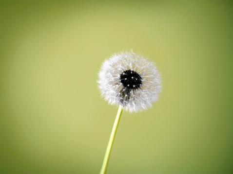 たんぽぽ「Dandelion seed head on green background」:スマホ壁紙(6)