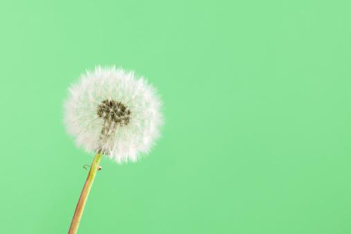 たんぽぽ「タンポポの種子ボールグリーン」:スマホ壁紙(8)