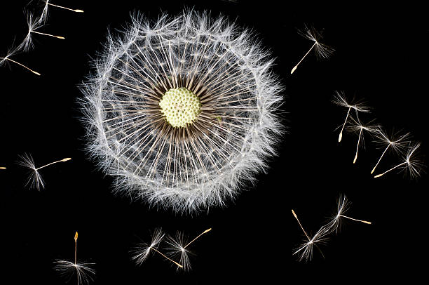 dandelion seeds:スマホ壁紙(壁紙.com)
